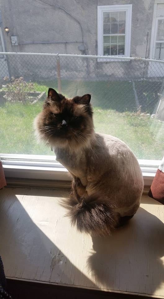 Carmella, the Sealpoint ragdoll kitty gets a lion cut for Spring although apparently the weather hasn't caught up yet.